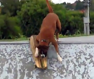 Boxer Loves Skateboarding