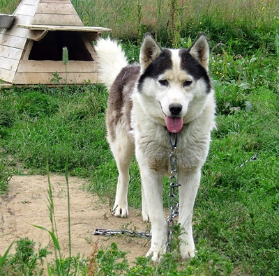 Sled Dogs in Need of Help