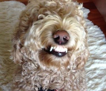 Smiley Goldendoodle