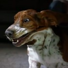 Basset Hound in Slow Motion