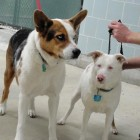 Patches and Sally: Bonded Blind/Deaf Dog and Her Guide Need Home After Owner Dies