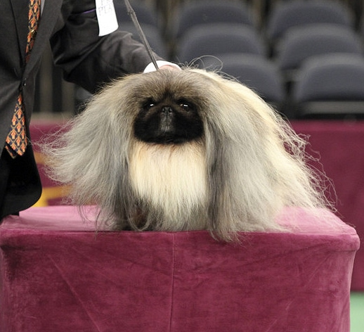 Pekingese is Best in Show