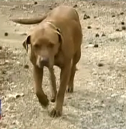 Pit Bull Protects Toddler Lost in Woods