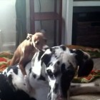 Great Dane vs. Italian Greyhound