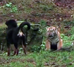 Dog and Tiger Cub are Best Friends