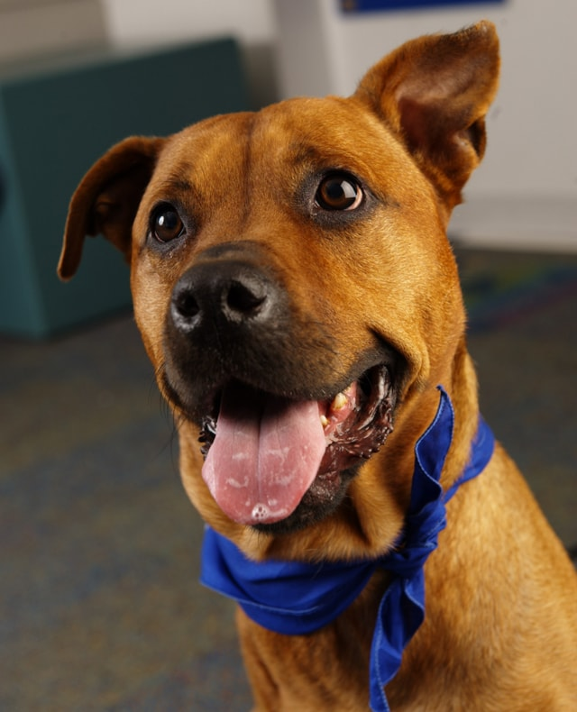 Festus the Three-Legged Therapy Dog