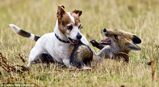 fox and hound1