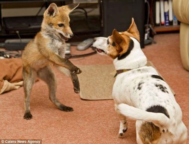 Orphaned Fox & Dog Become Best Friends