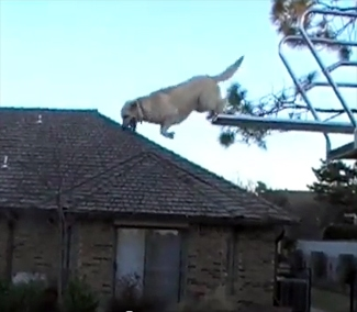 High Diving Dog