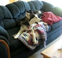 The Saturday Pet Blogger Hop: Husky Tantrum