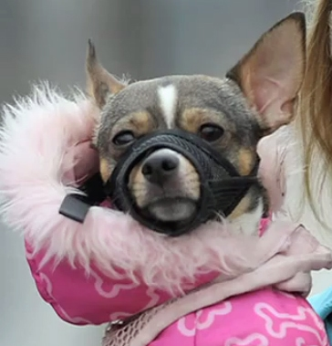 City: 8 Pound Chihuahua is a Danger to Society