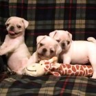 1, 2, 3, 4 White Pug Puppies