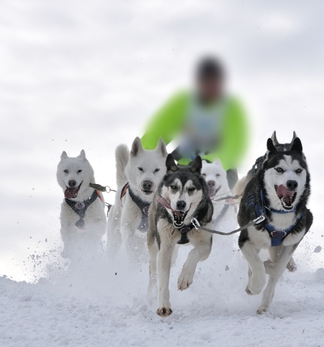 New Standards for BC Sled Dog Owners Include Instructions for Shooting Them