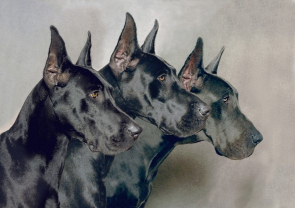 Doberman Ear Cropping Types Of cropping dog ears for
