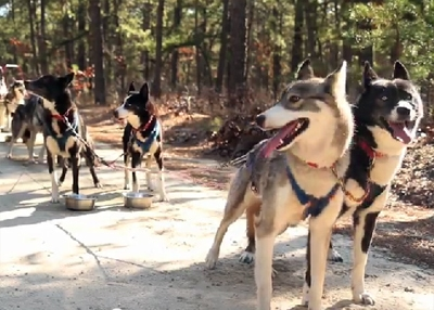 Sled Dogs Mush Through the Sands of New Jersey
