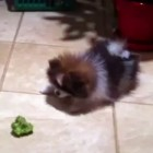 Puppy is Suspicious of Broccoli
