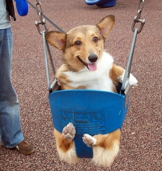 10 Things That Make Corgis Happy