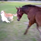Dog and Baby Horse Play Tag