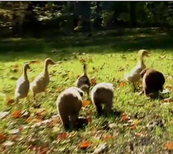Aussie Puppies Herd Ducklings Life With Dogs