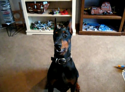 Doberman Bark and Whisper Trick