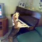 Beagle Sings the Blues