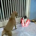 Cat Jedi vs Pitbull