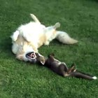 Dogs Play with Adopted Fox