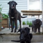 Ebony, Noodle and Joy by the Garden Containers on the Deck