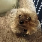 "Yorkie Hears ""Haircut"" and Hides Under Bed"