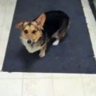 The Saturday Pet Blogger Hop: Voice Activated Corgi