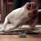 Dog Loves Toy Mouse