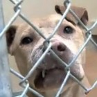 30 Pit Bulls Saved from Dog Fighting Operation