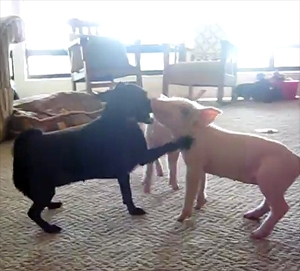 Puppy Plays with Piglets