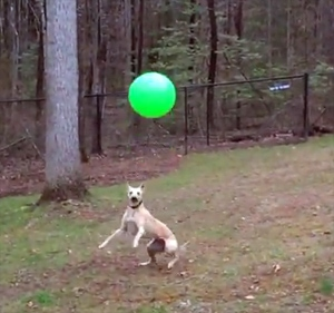 Amazing Ball-Bopping Whippet