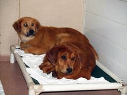 No Dog Left Behind for Delaware Valley Golden Retriever Rescue