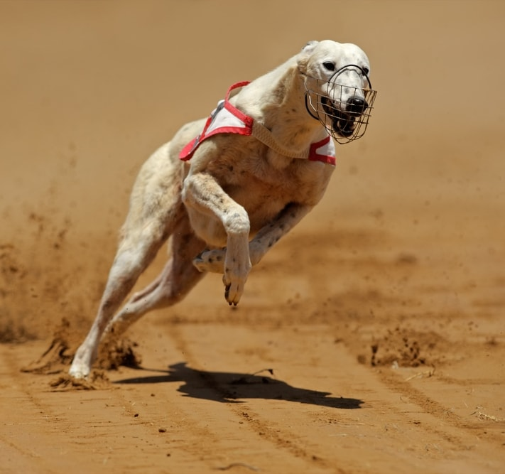 "BBC: ""Thousands of Racing Greyhounds Vanish Each Year"""