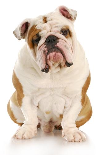 Disqualified: Bulldog and Pekingese Fail Crufts Vet Checks