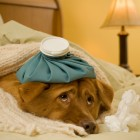 What to Do If Your Dog Gets the Flu