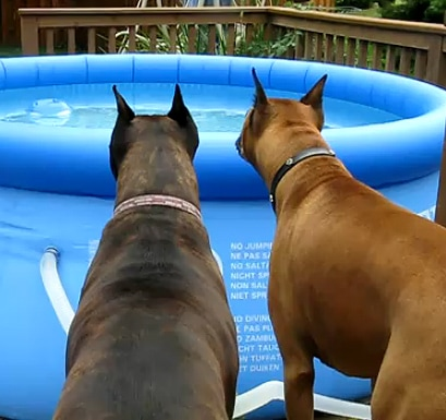 Cute Boxers Spooked by Pool Toy