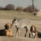 The Saturday Pet Blogger Hop: Deer Befriends Dogs