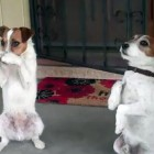 Two Talented Jack Russell Terriers