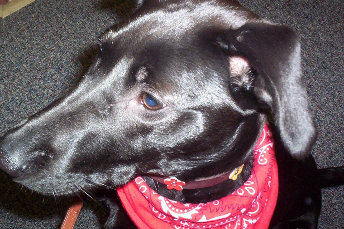 Conquering Ear Infections in Dogs