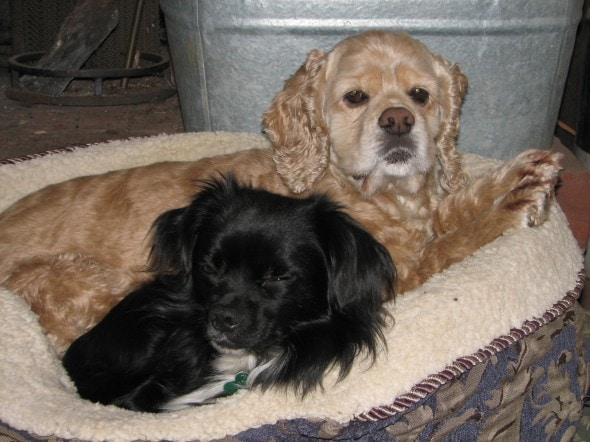 a cocker spaniel dog and chihuahua dog sharing a dog bed