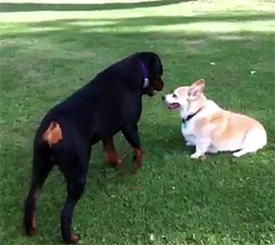 Rottweiler vs. Corgi