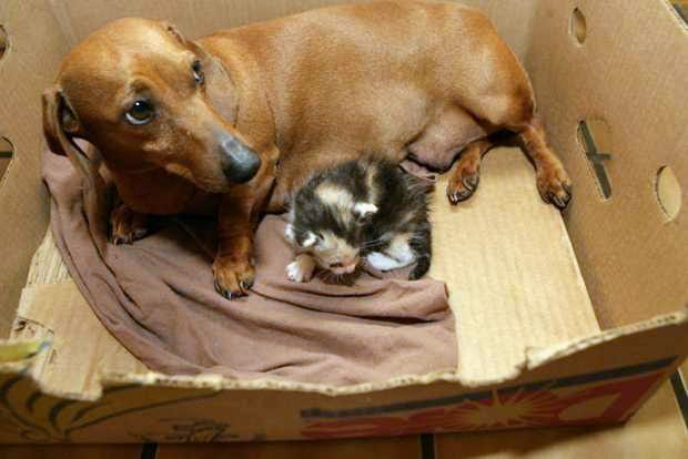 Caring Dachshund Adopts Orphaned Kittens