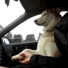 Dog Insists on Holding Hands While Riding in Car