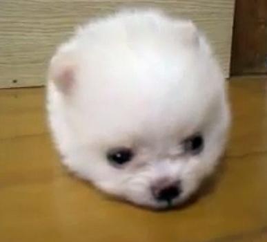 Cotton Ball Puppy