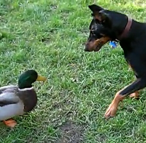 Duck vs. Doberman