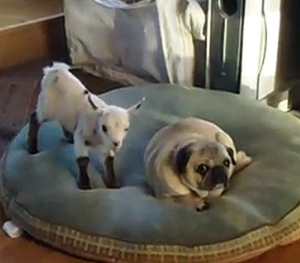 Baby Goat vs. Pug - LIFE WITH DOGS