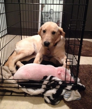 Dog Nurses Rescued Piglet Back to Health